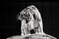 Tigre (Celenya2610) Tags: noiretblanc nb cirque spectacle numero tigre sauvage animal dressage colère tiger blackandwhite
