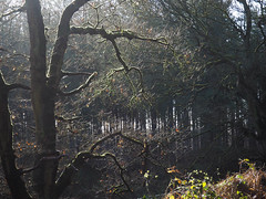 Sunlight and cobwebs.Explored. (dave p brecks) Tags: forestscenes