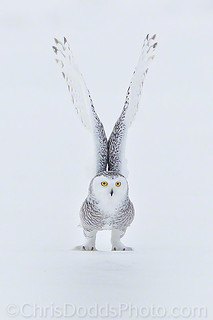 Snowy-owl-Nyctea-scandiaca-harfang-des-neiges-SNOW-CDODDS_74F6189