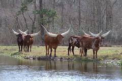 Hanging out . (rlbarn) Tags: ankole watusi cow cattle calves bull ranch