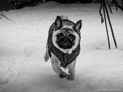 Baron 25ww (wketsch) Tags: snow dog pug snowfall pup winter mops animal nature lovely charming young fun romp run bw monochrome