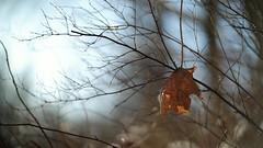 X-T1 2018-02-21 092 (linebrell) Tags: smc takumar 50mm bokeh outdoor sunlight winter lens turbo ii