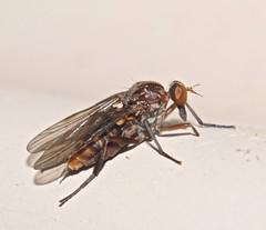 Mr SQUIGGLE Dagger Fly Fly day Friday P1270821 (Steve & Alison1) Tags: mr squiggle fly flyday friday 6mmlong diptera 6mm long dagger hilarempis sp epidinae epididae orthorrhapha airlie beach rainforest