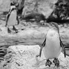 Schatziiiiii, wo steckst Du? (Tomsch) Tags: penguin pinguin zoo animal tier lebewesen wien vienna austria österreich blackandwhite schwarzweiss bw sw