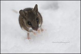 Harvest Mouse 001 web