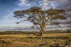 Acacia amarilla (aldea, flor) Tags: canon africa safari viajes kenia nakuru paisaje árbol naturaleza