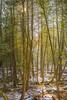 pale sunshafts in winter cedars (dajonas) Tags: michigan january nikon lightroom vsco winter cedars woods forest