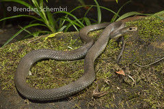 Rough-scaled Snake (Tropidechis carinatus) (Brendan Schembri) Tags: roughscaled snake tropidechis carinatus elapid elapidae reptile australia wildlife queensland brendanschembri