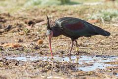 Ibis chauve (Tifaeris) Tags: barbate espagne geronticuseremita ibischauve