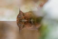 Snowy Squirrel (eric-d at gmx.net) Tags: redsquirrel squirrel eichhörnchen sciurusvulgaris eric wildlife