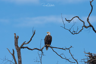 Bald Eagles of the Jersey Shore | 2018 - 28