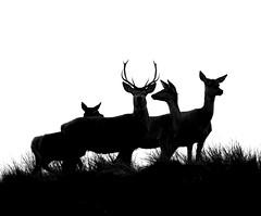 Deer, oh deer.... (Jaedde & Sis) Tags: krondyr red deer silhouette blåvand dunes four backlit notbw challengefactorywinner thechallengefactory storybookwinner
