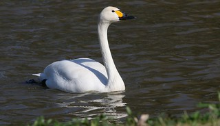 Bewick Swan 250317  (2)