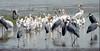 Ethiopia : Ziway Lake #2 (foto_morgana) Tags: africa afrika afrique analogphotography analogefotografie birds ethiopia kibish lake marabou nikoncoolscan omovallei omovalley pelicaniformes photographieanalogue travelexperience vallebajodelomo valléedelomo vuescan water waterbirds waterfowl ziwaylake