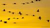 GRUES DANS LE COUCHANT (Altus65) Tags: grues cranes
