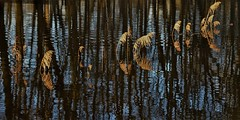 Reflection on reflection (wilma HW61) Tags: reflectie reflection réflexion reflexion spiegeling bomen trees pluimen plumes federn rietpluimen reedplumes water wasser natuur nature natur naturaleza nikond90 nederland niederlande netherlands holland holanda paísesbajos paesibassi paysbas europa europe wilmahw61 wilmawesterhoud