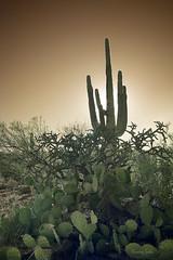 The King's Court (Ramen Saha) Tags: saguaro cactus carnegieagigante carnegiea saguaronationalpark nationalpark infrared infraredfilter infraredphotography arizona rinconmountaindistrict pricklypear ramensaha 690mmirayirfilter 690mm ir
