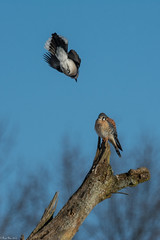 Minding his own business (Fred Roe) Tags: nikond7100 nikkorafs80400mmf4556ged nikonafsteleconvertertc14eii nature wildlife birds birding birdwatching birdwatcher birdinflight falcon raptor americankestrel falcosparverius bluejay cyanocittacristata