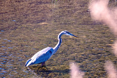 Great blue heron. (PJD-DigiPic) Tags: pjddigipic bird greatblueheron waterbird water reflections westhartfordconnecticut fauna stream brook