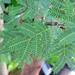 Vachellia farnesiana (sweet acacia) 3