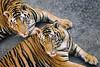 Tiger Eyes (jgottlieb) Tags: tiger tigers faces sriracha zoo chabang staring leica mp typ 240 summicron 75mm sri racha chonburi