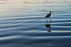 Taking the path less traveled (Woodlands Photog) Tags: bird curlew morro bay california sunset surf ocean nature