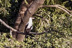 Palmiste africain (jeanot94) Tags: palmnutvulture buitrepalmero abutredaspalmeiras palmgeier avvoltoiodellepalme sénégal saintlouis sinésaloum mbour languedebarbarie djoudj