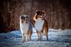 Blue & Finn (Nana-Photography) Tags: australianshepherd aussie blue finn carinthia animal animalphotography dog nanaphotography nature hafnersee