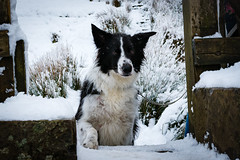 Winter Walks (RichJones14) Tags: d3400 snow walk dog border collie peak district cheshire cold winter white frosty pets