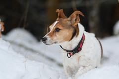 DSC_0078_00001 (Karantez vro) Tags: jack russell terrier nikon 85mm f18 d3300