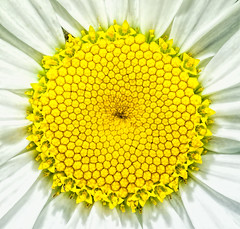 Nature's Fractals (docoverachiever) Tags: macro nature flower squareformat daisy pollen yellow geometry white challengeyouwinner cyunanimous