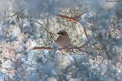 A jay in the frost (uusija) Tags: eurasianjay garrulusglandarius bird linnut luonto nature närhi