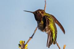 Stretch on the perch (bodro) Tags: bolsachica bird birdphotography ecologicalreserve featherdetails frozenmoment hummingbird perch purplethroat shallows stretch twig wetlands yellowflower