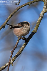Long-tailed Tit (Aegithalos caudatus) (gcampbellphoto) Tags: aegithalos caudatus long tailed tit bird avian nature wildlife biodiversity antrim northern ireland gcampbellphotocouk