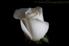 Wishes of White (13skies) Tags: rose macro white bloom petal negativespace light
