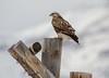 Rough-legged hawk (scepdoll) Tags: jackson jacksonhole roughleggedhawk springgulchroad bird hawk snow winter wyoming unitedstatesofamerica