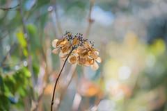 The Colours of Winter (paulapics2) Tags: hydrangea driedflower nature garden winter outdoor bokeh depthoffield february colour wintercolour seasons canoneos5dmarkiii sigma105mmf28exdgoshsmmacro rhshydehall hydehallgardens bright