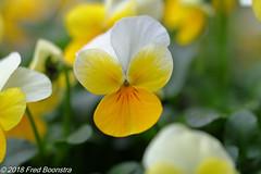 """""""Spring on our garden terrace"""" (Fred / Canon 70D) Tags: garden gardenterrace violafornuta viola ef100mmf28lmacroisusm canon70d canoneos canon closeup spring2018 eefde"""