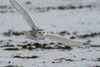 Harfang des neiges/ Snowy Owl-10955 (michel paquin2011) Tags: rouge harfang neige rapace vol champs diurne saint isidore