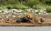 Hungry Lions don't read Red Lists (zimbart) Tags: africa namibia etosha namutoni fauna vertebrata mammals carnivora felidae pantheraleo panthera