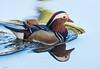 Mandarin Duck (Pat_J1) Tags: mandarinduck duck colour color water
