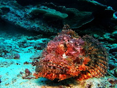 Scorpionfish (markb120) Tags: fish animal fauna sea ocean coral reef water underwater diving scuba red poison