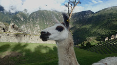 Llama of Machu Picchu , Peru - P3025013 (Toby Garden) Tags: machu picchu llama wild chinchilla