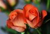 DSC_8852 (PeaTJay) Tags: nikond750 sigma reading lowerearley berkshire macro micro closeups gardens indoors nature flora fauna plants flowers bouquet rose roses rosebuds