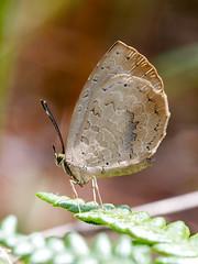 Narrow-banded Brownie (chaz jackson) Tags: narrowbandedbrownie miletusmallus lycaenidae miletinae brownie butterfly insect macro vietnam