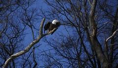 The Eagle Has Landed #7 (Keith Michael NYC (4 Million+ Views)) Tags: mountloretto mountlorettouniquearea statenisland newyorkcity newyork ny nyc baldeagle