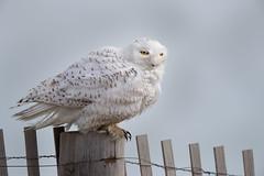 _RDX4934.jpg (rdelonga) Tags: nycteascandiaca snowyowl