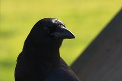 Common Raven (sr667) Tags: corvuscorax florida usa us animalia chordata commonraven aves passeriformes corvidae corvus ccorax canon sigma myakkariverstatepark northernraven passerine