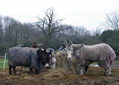 Corley Moor Donkeys:  13/365 (amandabhslater) Tags: donkeys corleymoor bullandbutcher winter straw hay feed waterproof coats field trees 2018photographicdiary
