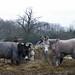 Corley Moor Donkeys:  13/365